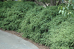 Wintergreen Boxwood (Buxus microphylla 'Wintergreen') at Homestead Gardens