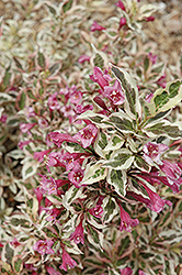 My Monet® Weigela (Weigela florida 'Verweig') at Homestead Gardens