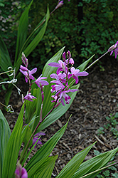 Lavender Japanese Hyacinth Orchid (Bletilla striata) at Homestead Gardens