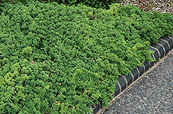 Green Mound Dwarf Japanese Juniper (Juniperus procumbens 'Green Mound') at Homestead Gardens