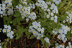 Everblooming Forget-Me-Not (Myosotis scorpioides 'Semperflorens') at Homestead Gardens