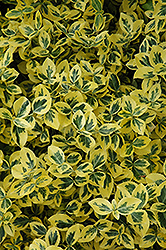 Emerald 'n' Gold Wintercreeper (Euonymus fortunei 'Emerald 'n' Gold') at Homestead Gardens