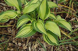 Rainbow's End Hosta (Hosta 'Rainbow's End') at Homestead Gardens