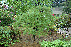 Cutleaf Japanese Maple (Acer palmatum 'Dissectum') at Homestead Gardens