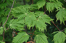 Cutleaf Fullmoon Maple (Acer japonicum 'Aconitifolium') at Homestead Gardens