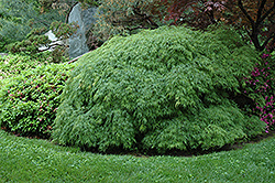 Cutleaf Japanese Maple (Acer palmatum 'Dissectum Viridis') at Homestead Gardens