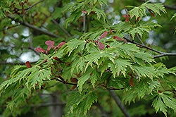 Maiku Jaku Fernleaf Full Moon Maple (Acer japonicum 'Maiku Jaku') at Homestead Gardens