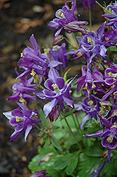 Biedermeier Blue Columbine (Aquilegia 'Biedermeier Blue') at Homestead Gardens