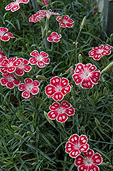 Spotty Pinks (Dianthus 'Spotty') at Homestead Gardens