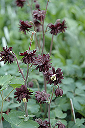 Black Barlow Columbine (Aquilegia vulgaris 'Black Barlow') at Homestead Gardens