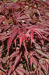 Red Dawn Full Moon Maple (Acer shirasawanum 'Red Dawn') at Homestead Gardens