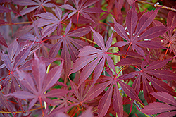 Sherwood Flame Japanese Maple (Acer palmatum 'Sherwood Flame') at Homestead Gardens