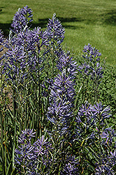 Blue Danube Camassia (Camassia leichtlinii 'Blue Danube') at Homestead Gardens