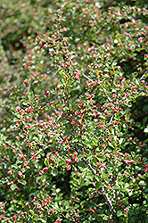 Cranberry Cotoneaster (Cotoneaster apiculatus) at Homestead Gardens