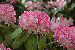 Holden Rhododendron (Rhododendron 'Holden') at Homestead Gardens