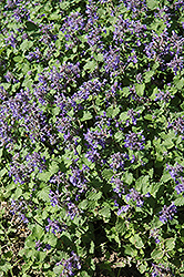 Little Titch Catmint (Nepeta racemosa 'Little Titch') at Homestead Gardens