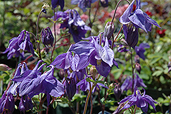 Alpine Columbine (Aquilegia alpina) at Homestead Gardens