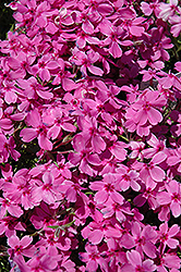 Red Wings Moss Phlox (Phlox subulata 'Red Wings') at Homestead Gardens