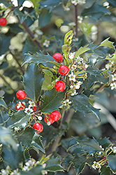 Berri-Magic Kids Meserve Holly (Ilex x meserveae 'Berri-Magic Kids') at Homestead Gardens