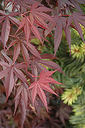 Skeeter's Broom Dwarf Japanese Maple (Acer palmatum 'Skeeter's Broom') at Homestead Gardens