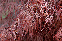 Crimson Queen Japanese Maple (Acer palmatum 'Crimson Queen') at Homestead Gardens