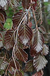 Purple Fountain Beech (Fagus sylvatica 'Purple Fountain') at Homestead Gardens