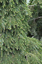Bruns Weeping Spruce (Picea omorika 'Pendula Bruns') at Homestead Gardens
