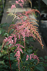 Ostrich Plume Astilbe (Astilbe x arendsii 'Ostrich Plume') at Homestead Gardens