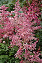 Jump and Jive Astilbe (Astilbe 'Jump And Jive') at Homestead Gardens