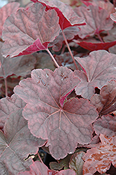 Venus Coral Bells (Heuchera 'Venus') at Homestead Gardens