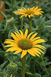 Mac 'n' Cheese Coneflower (Echinacea 'Mac 'n' Cheese') at Homestead Gardens