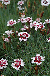 Brilliant Star Pinks (Dianthus 'Brilliant Star') at Homestead Gardens