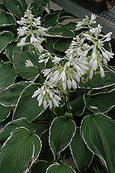 Frosted Jade Hosta (Hosta 'Frosted Jade') at Homestead Gardens