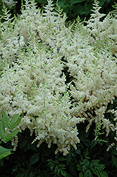 Ellie Japanese Astilbe (Astilbe japonica 'Ellie') at Homestead Gardens