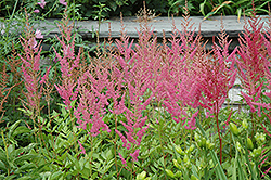 Visions in Pink Chinese Astilbe (Astilbe chinensis 'Visions in Pink') at Homestead Gardens