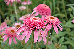 Cone-fections™ Pink Double Delight Coneflower (Echinacea purpurea 'Pink Double Delight') at Homestead Gardens