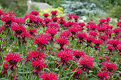 Raspberry Wine Beebalm (Monarda 'Raspberry Wine') at Homestead Gardens