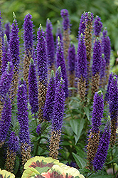 Royal Candles Speedwell (Veronica spicata 'Royal Candles') at Homestead Gardens