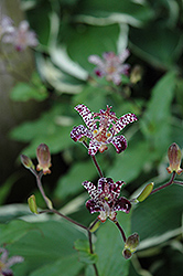 Empress Toad Lily (Tricyrtis 'Empress') at Homestead Gardens