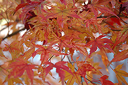 Butterfly Variegated Japanese Maple (Acer palmatum 'Butterfly') at Homestead Gardens