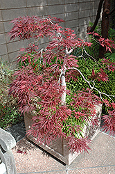 Ever Red Lace-Leaf Japanese Maple (Acer palmatum 'Ever Red') at Homestead Gardens