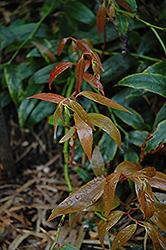 Royal Ruby Fetterbush (Leucothoe keiskei 'Royal Ruby') at Homestead Gardens