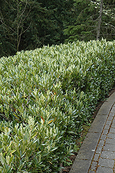 Otto Luyken Dwarf Cherry Laurel (Prunus laurocerasus 'Otto Luyken') at Homestead Gardens