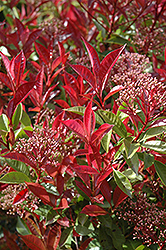 Fraser Photinia (Photinia x fraseri) at Homestead Gardens