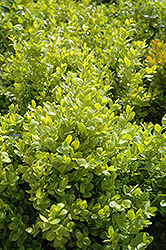 Dwarf English Boxwood (Buxus sempervirens 'Suffruticosa') at Homestead Gardens