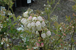 Duke Blueberry (Vaccinium corymbosum 'Duke') at Homestead Gardens
