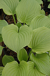 Aphrodite Hosta (Hosta 'Aphrodite') at Homestead Gardens
