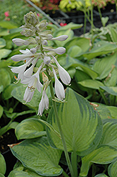 Paradigm Hosta (Hosta 'Paradigm') at Homestead Gardens