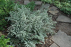Japanese Painted Fern (Athyrium goeringianum) at Homestead Gardens