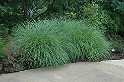 Little Kitten Dwarf Maiden Grass (Miscanthus sinensis 'Little Kitten') at Homestead Gardens